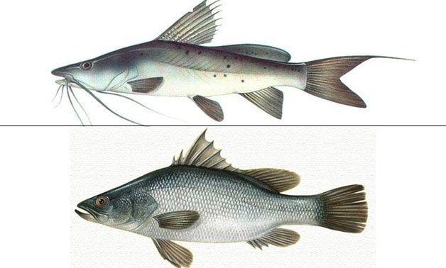 تعرف على سمك قشر بياض وانواعه وطريقة استزراعه Fish Pet Fish Pets