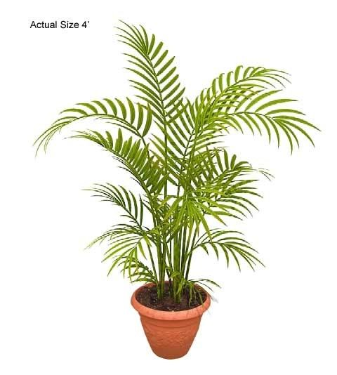 areca palm the areca palm dypsis lutescen has many