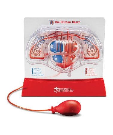 Take a look at this Pumping Heart Model by Learning Resources on #zulily today!