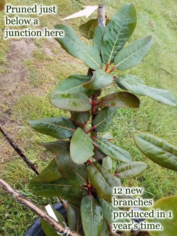 Pruning Success After Feeding Rhododendrons Singing Tree Gardens Nursery Rhododendron Garden Nursery Prune