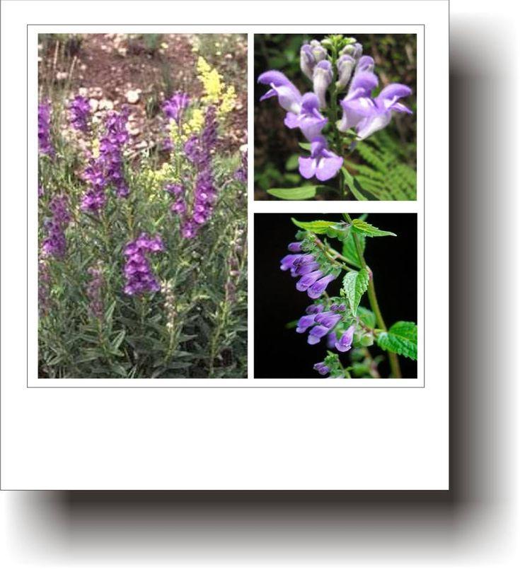 Plante medicinale – GURA-LUPULUI