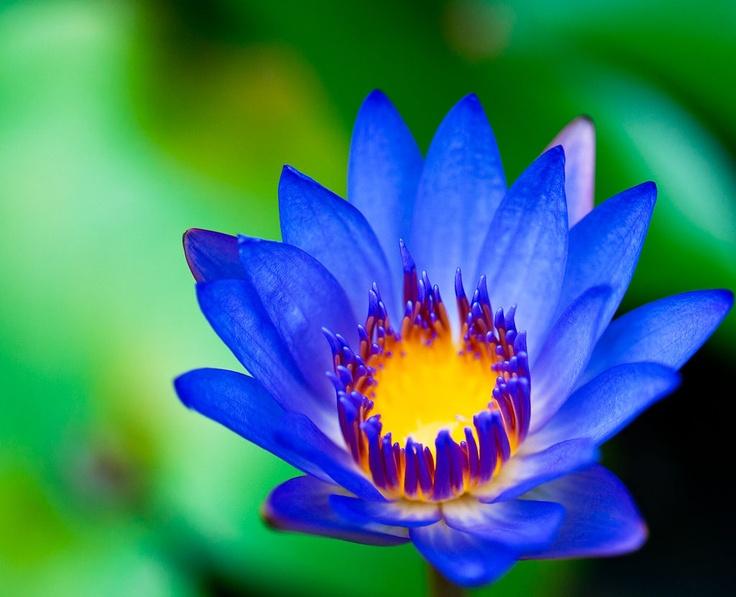 58 best egyptian blue lotus images on pinterest egypt art egyptian lotus mightylinksfo