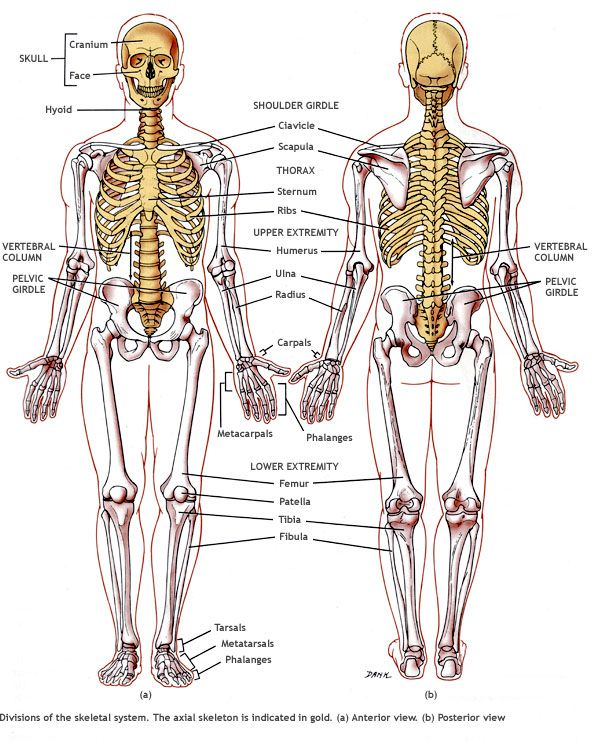 15 best images about help with med on pinterest | endocrine system, Skeleton