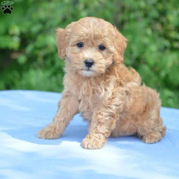 Earl F1b Mini Goldendoodle Puppy For Sale In Ohio Mini Goldendoodle Puppies Goldendoodle Puppy Goldendoodle Puppy For Sale