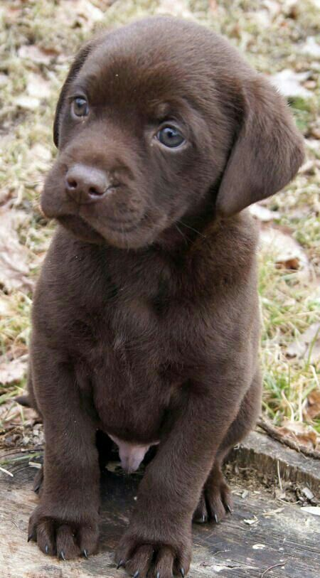 Chocolate Puppy that has blue eyes. PERFECT!!!!  Someday I'll have another puppy.