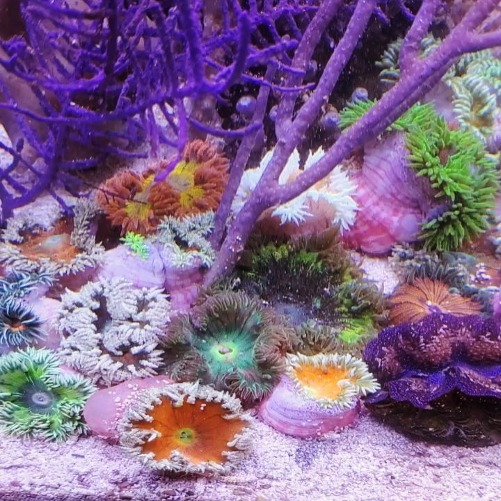 Aquasplendor On Instagram Timelapse When I Introduce My Rock Flower Anemones From Caribbean Saltwater Aquarium Fish Anemone Aquarium Fish