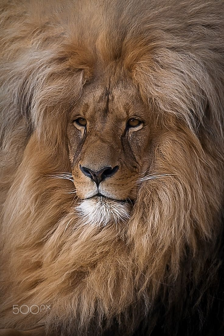 Without a Doubt, the Most Handsome African Male Lion I Ever Laid Eyes on. Very Kingly Looking.