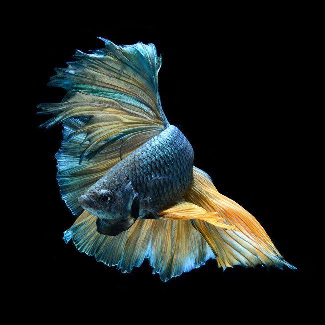 Ce passionné de poissonsavait déjà signé l'étonnante série de portraits de virevoltants combattants. Le photographe Visarute Angkatavanich choisit cette fois-ci un autre poisson d'aquarium, le célèbre poisson rouge, pour à son tour capturer sa fascinante beauté.Majestueuses créatures Cet art