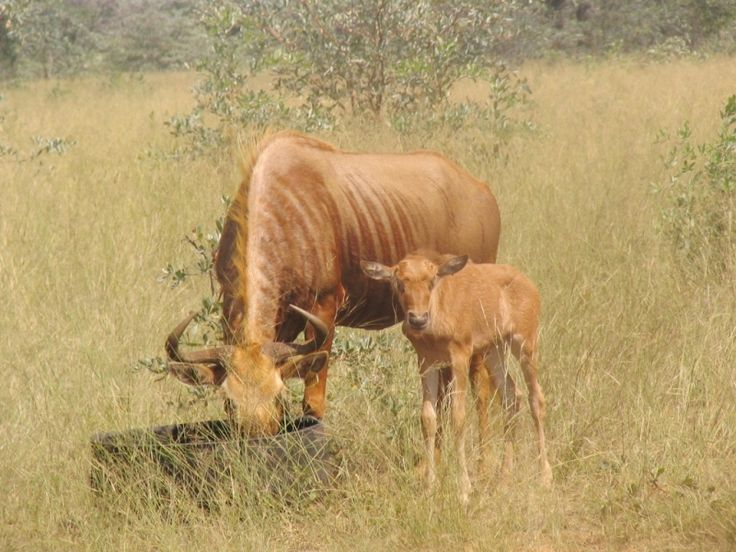 Golden Wildebeest - Pakůň zlatý