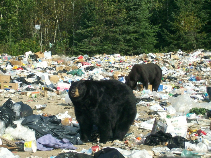 Fat and healthy Black Bears at the dump at Sioux Narrows Ontario Canada. Been there done that