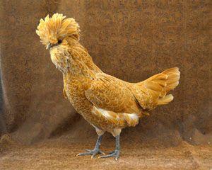 Pin On Poultry Turkeys Guineas Gamebirds