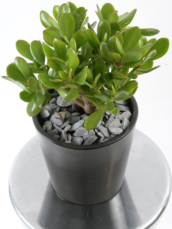 2. Jade plant; crassula oviata.  When grown indoors, jade plant attains size like a small shrub. Keep the plant on a spot that receives partial or indirect sunlight. This plant is extremely tolerant of poor soils and its thick leaves and stems act as reservoirs of water. This feature makes it one of the best plant for indoor gardening.