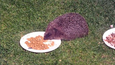 Hedgehog Watch Dublin: Marking a Hedgehog