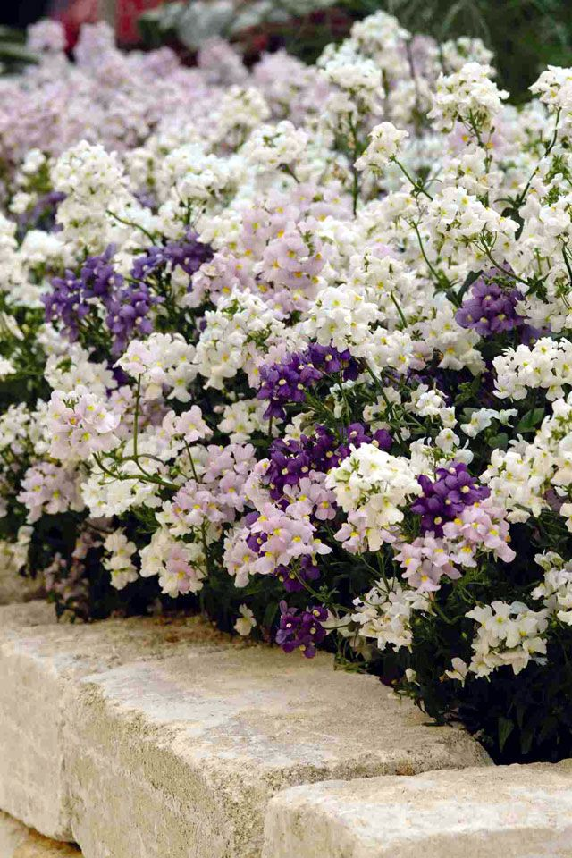 Nemesia aromatica- very fragrant! It smells like candy.