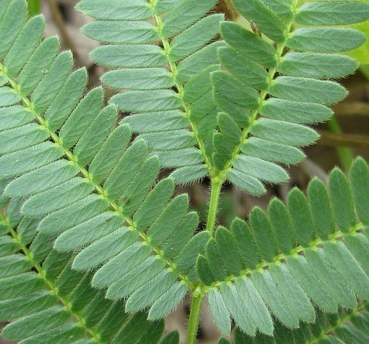 ¿Cómo se defiende la acacia de los animales herbívoros? - http://www.jardineriaon.com/como-se-defiende-la-acacia-de-los-animales-herbivoros.html