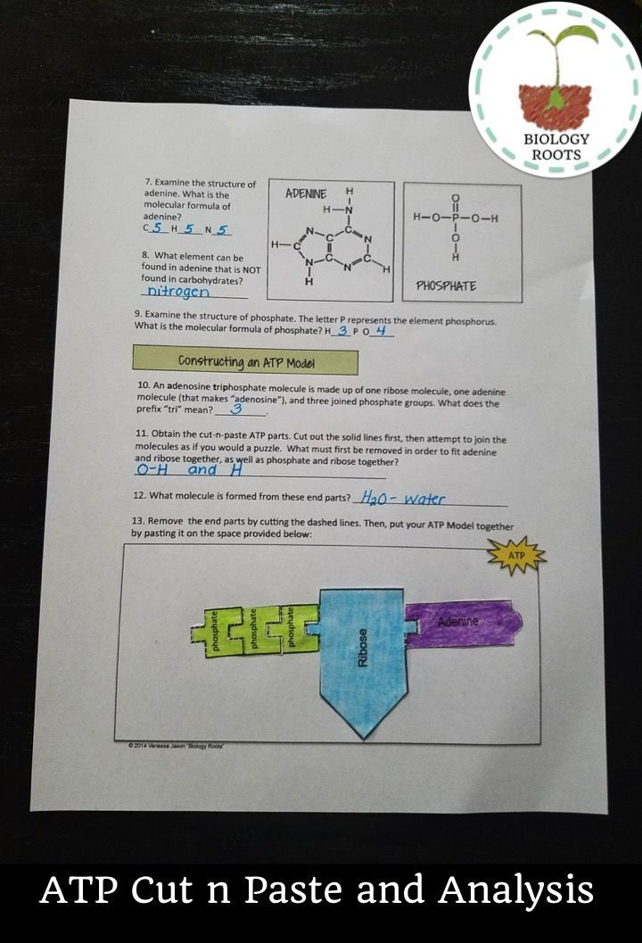 ATP cut n paste model and analysis. This covers everything ATP- from the formula for ATP and ADP and what happens to the energy from those lost bonds. Covers structure of ATP, function of ATP, and ADP-> ATP cycle. Great reinforcement before a quiz or a test!