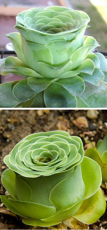 Rose-shaped succulent called Greenovia dodrentalis » How cool and so pretty!