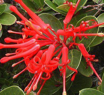 Embothrium coccineum 3 flower