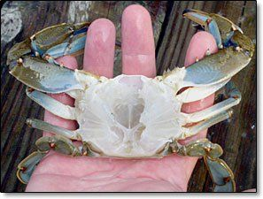 BLUECRAB.INFO - Clean Before You Cook