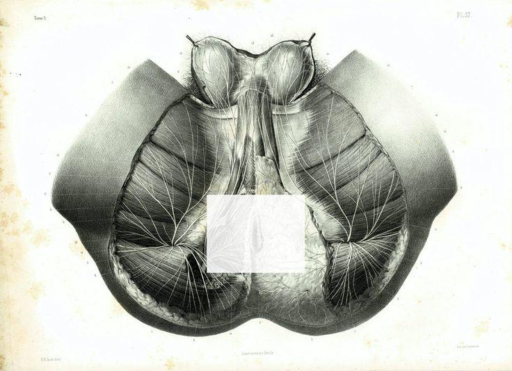 1844 Périnée Homme Pelvis Organes Génitaux Muscles Nerfs Corps Humain, Planche Anatomique Bourgery, Poster Anatomie Medecine de la boutique sofrenchvintage sur Etsy