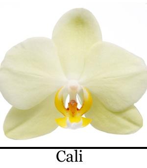 Orchidee Phalaenopsis Cali