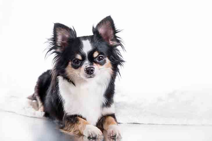 Chihuahua Dog Breed Information Dog Breeds Chihuahua Dogs Top
