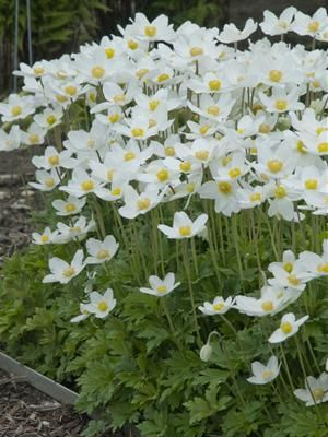 Anemone sylvestris: An easy-to-grow, spring-blooming perennial that's deer and rabbit resistant! Picked by: Kim