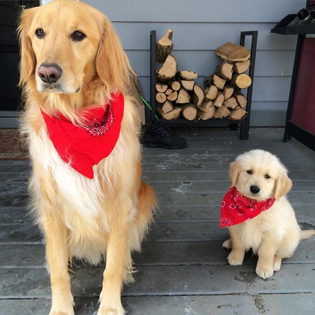 Chan and Gus dressed up in their finest red bandanas for Valentines Day.