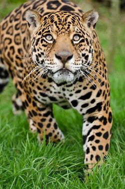 An overview of the feline species jaguar