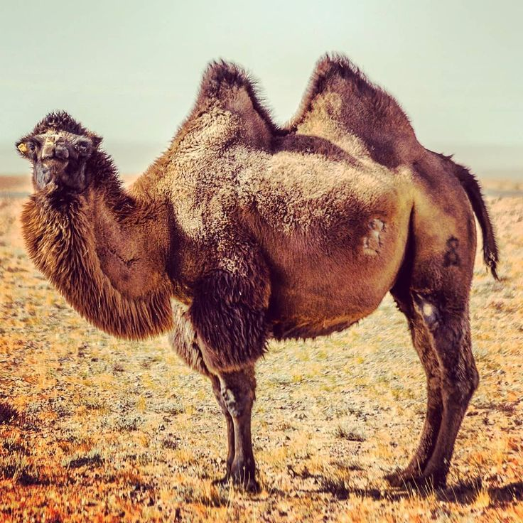 While cruising through the Gobi Desert we came across this Bactrian camel. They are incredible animals able to go for months without water and able to drink up to 57 liters in one go. They can also withstand extreme hot and cold temperatures (-40 to 40). No wonder they were such an important pack animal for silk road traders; they continue to be used by nomads in the Gobi Desert today.
