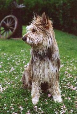 Berger Picard / Berger de Picardie / Picardy Shepherd Dog / Bacardi Shepherd