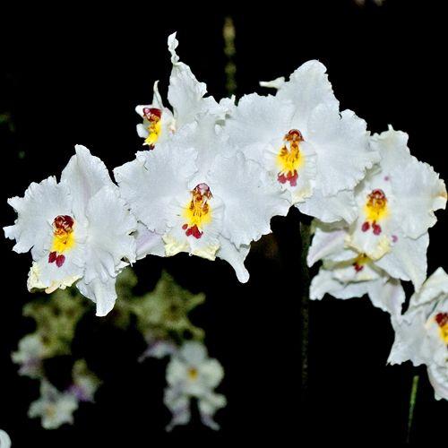 McBean's Orchids