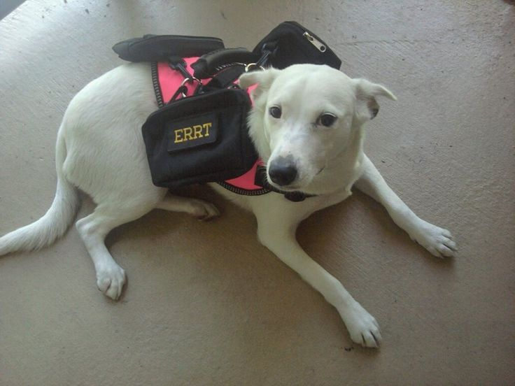 """Meet TINK.......she is with the Emergency Rapid Response Team...she is also a Seizure Alert Dog for a disabled Veteran...and she spends most of her time patrolling around Disney in FL.....so if you see TINK at Disney don't forget to say """"hello""""........but ask her handler first.......remember never to distract a working dog!"""