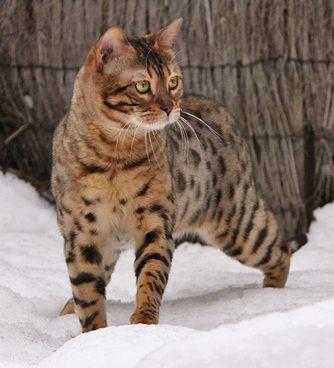 Bengal Cat Rescue Bc