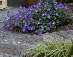 Geranium Rozanne - love, love, love this plant. Have some elswhere in the front, need more in three other spots.