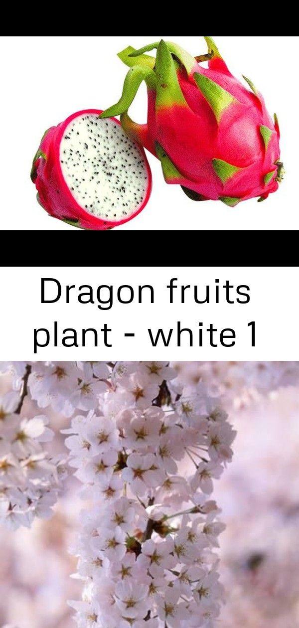 Dragon Fruits Plant White 1 Dragon Fruit Plant Fruit Dragon Fruit