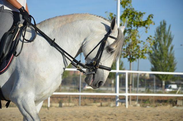 HE4459991 - venta caballo lusitano
