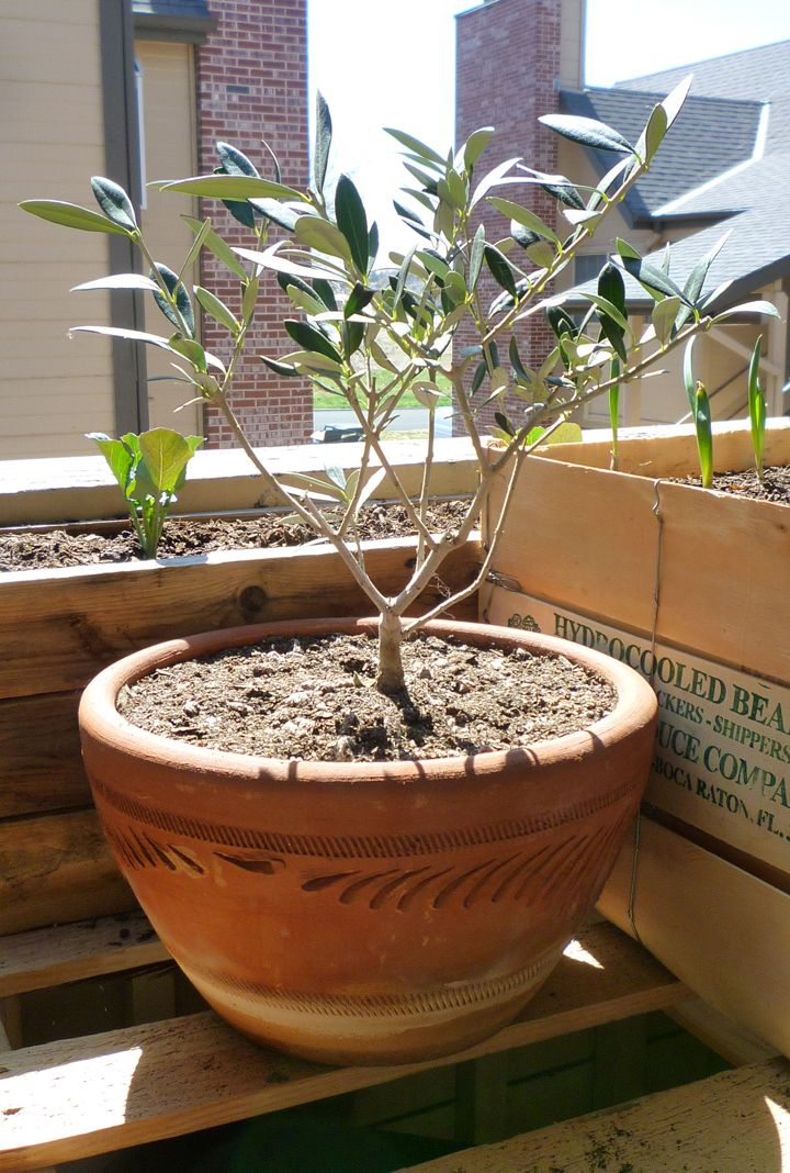 Growing olive trees in containers gardens olive tree for Olive plant care