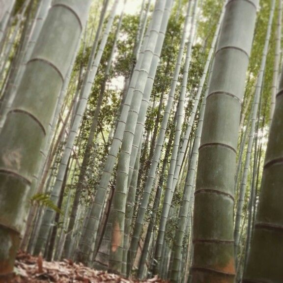 Bamboo forest in Arashiyama, Kyoto © copyright Barbara Mazzei