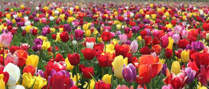 When To Plant Tulip Bulbs   http://plantgurus.com/gardening/flowers/when-to-plant-tulip-bulbs/