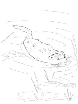 Muskrat Swimming In Pool Coloring Page From Category Select 25970 Printable Crafts Of Cartoons Nature Animals Bible And Many More