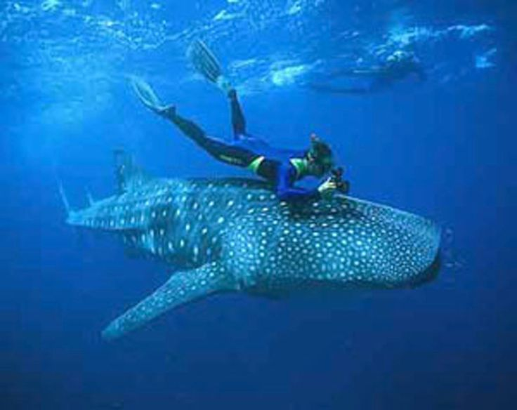whale shark pictures | ジンベイザメと泳げるソルソゴン、ドンソル村