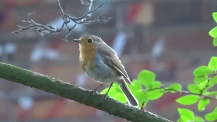 Śpiew rudzika