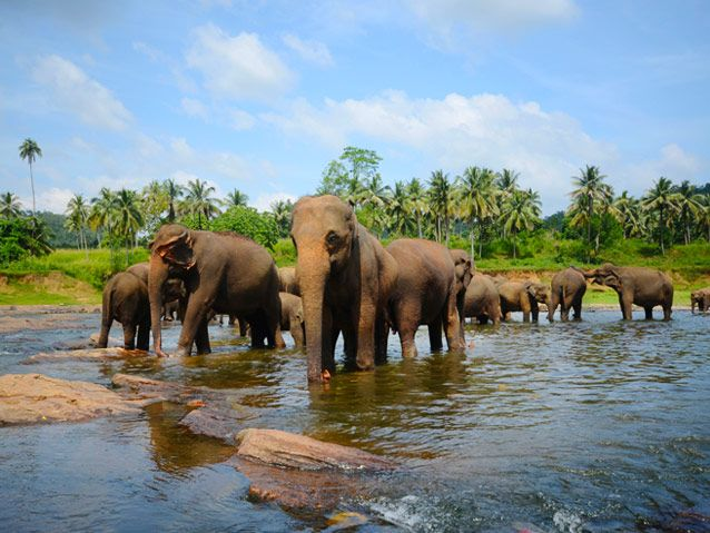 Stop on the road back to Kandy is the Pinnawela Elephant Orphanage and feel the warmth from these beautiful creatures. The magnificent elephants..