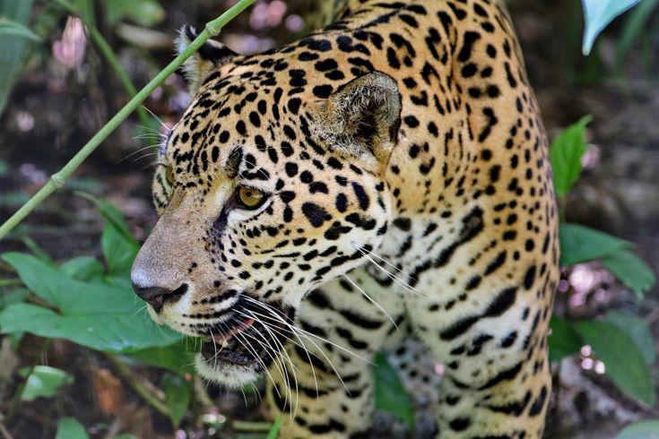 """""""Colui che uccide in un balzo"""" è il significato letterale nella lingua dei nativi della parola giaguaro. Ci hanno raccontato tra l'altro che ogni tanto se ne vede qualcuno in giro, fuori dalle abitazioni, in cerca di cibo… incontri strani qua la sera.. :)"""
