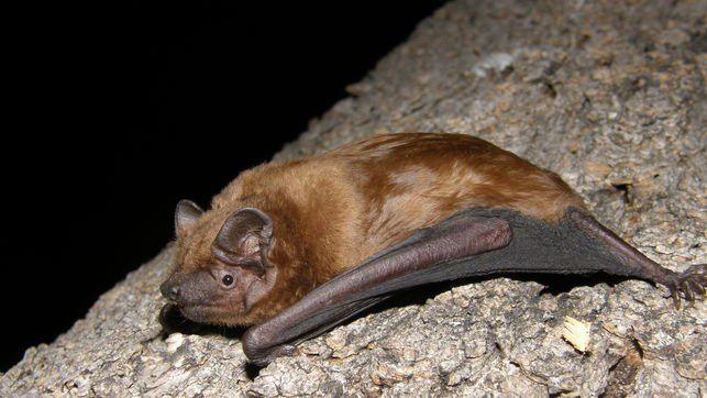 Los murciélagos no son peligrosos, es más, cumplen una función determinante en el medio ambiente   Controlan plagas, comen 🕷️🐜 Polinizan 🌺🌼