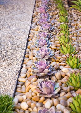 Beautiful Purple Echeveria - contemporary - Landscape - Orange County - Studio H Landscape Architecture