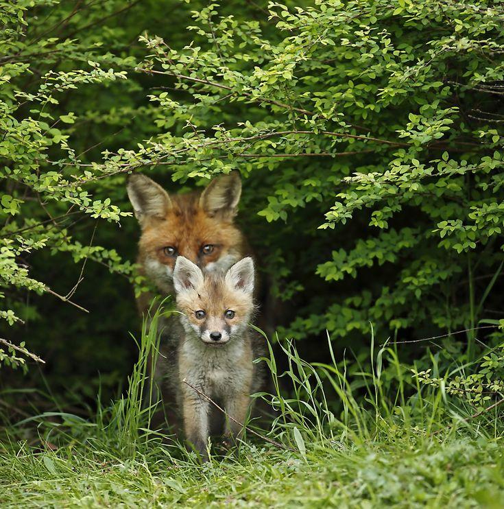 Fuchskind mit seiner Mama beim Ausspähen der Waldwiese