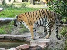 File:Panthera tigris1.ogg