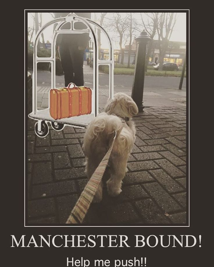 """54 Likes, 6 Comments - Alfie; A Rescued Dog Who Blogs (@alfie_the_angry_shih_tzu) on Instagram: """"I'm off to #manchester next weekend and staying in a #dogfriendly #hotel seeing my #cuz Max get a…"""""""